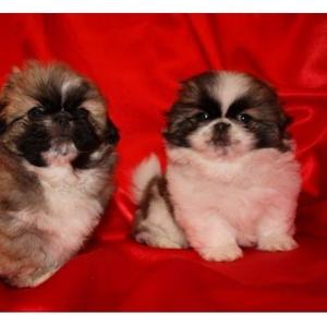Продаются щенки пекинеса!