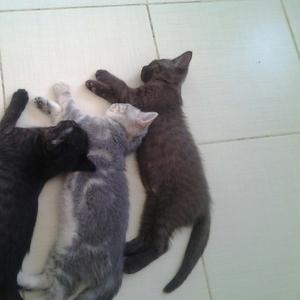Замечательные британские котята ждут звонка от будущих хозяев!